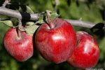 ذخیره سازی ۴۰۰ تن سیب و ۷۰۰ تن پرتقال برای عید گیلان