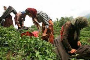 درآمد چای کشور ارتقا یافت
