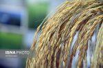 حضور ۴۰ تولیدکننده و ارائه کننده خدمات تخصصی در نمایشگاه تخصصی برنج