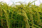 نخستین کارگاه توسعه محصولات کشاورزی ارگانیک