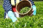 افزایش ۶ درصدی برداشت برگ سبز چای