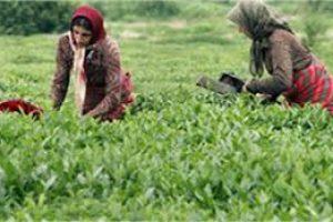 چین دوم برگ سبز چای رو به اتمام است