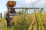 آغاز برداشت برنج به صورت دستی و مکانیزه در گیلان