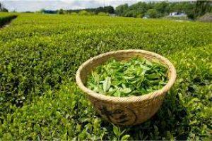 کاهش واردات چای و افزایش مساحت باغات چای