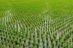 قصه پر رنج برنج؛ تشکیل سازمان برنج حلقه مفقوده مدیریت این محصول استراتژیک