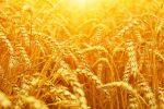برداشت بیش از ۱۲ هزار تن گندم در گیلان