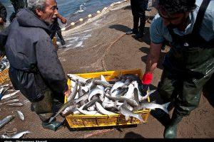 آغاز صید ماهیان استخوانی از دریای خزر