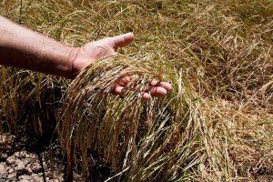 کشاورزان گیلانی رغبتی برای بیمه محصولات خود ندارند