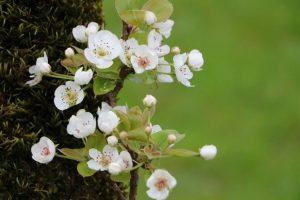 شکوفه درختان گلابی باغات گیلان