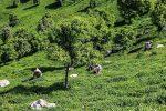 تسهیلات کمبهره به چایکاران استانهای گیلان و مازندران پرداخت شد