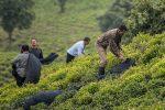 ۱۶۰ کارخانه در گیلان آماده خرید تضمینی چای از چایکاران هستند