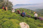 رئیس سازمان چای کشور: ۸۰ درصد مطالبات چایکاران گیلان و مازندران پرداخت شد