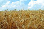 ۱۴ میلیون تن گندم امسال در کشور تولید می شود