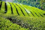 آغاز چین پاییزه برگ سبز چای، ۱۰۴ هزار تُن چای برداشت شد