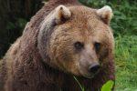احتمال حمله خرس به دامهای بدون چوپان جنگل شفت