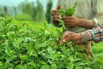 اشتغالزایی و رونق تولید با نگاه دانش بنیان به صنعت چای