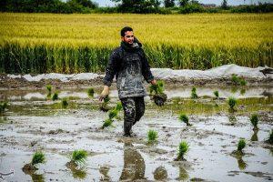 """اجرای """"طرح مطلوب سازی تولید برنج"""" در گیلان افزایش ۳۰ درصدی تولید را به همراه دارد"""