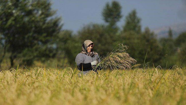 ایران تا ۴ سال آینده در حوزه تولید برنج خودکفا میشود