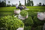 رییس سازمان چای کشور:پرداخت وام به چایکاران در دستور کار است