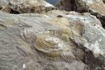 کشف سنگوارههای فسیلی صدفی در املش گیلان