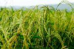 آغاز توزیع بذرهای گواهی شده ارقام بومی با کیفیت برنج در گیلان