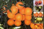 میوه مورد نیاز ایام نوروز استان گیلان ذخیره شده است
