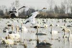 آغاز بازگشت پرندگان مهاجر از تالاب های گیلان به عرض های شمالی