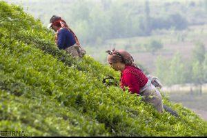 هزار تن برگ سبز چای از چایکاران خریداری شد