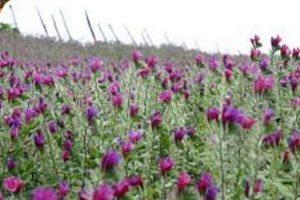 افزون بر سه هزار تن گل گاو زبان در گیلان برداشت می شود