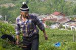 ۳۰ کلون جدید باغبانی در کشور معرفی شده است