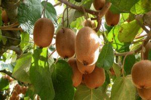 کیوی گیلان در بازارهای کشورهای حاشیه خزر خریداری می شود
